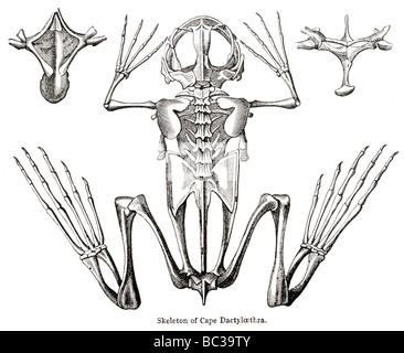 skeleton of cape dactylaethra - Stock Photo