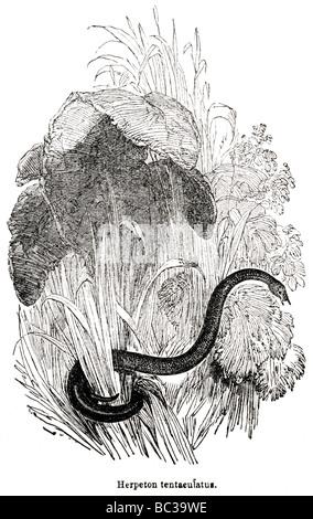 herpeton tentaeulatus - Stock Photo