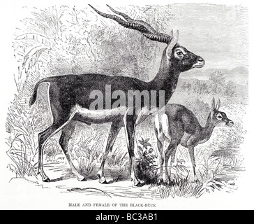 male and female of the black buck - Stock Photo
