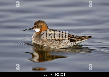 Red-necked Phalarope - Stock Photo