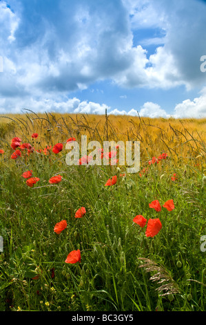 SOMME VALLEY Field of poppies and barley Somme Valley  Nord-Picardy  France - Stock Photo