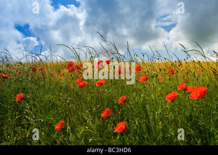 Field of poppies and barley Somme Valley  Nord-Picardy  France - Stock Photo