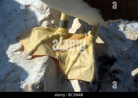 Brown Booby, Sula leucogaster - feet detail - Stock Photo
