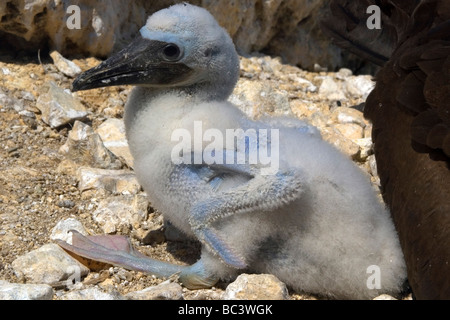 Brown Booby, Sula leucogaster - Chick - Stock Photo