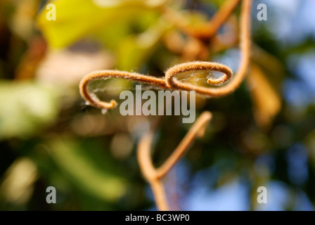 Plant tip splitting into two curling forms like mouse tails. Natural light close-up. - Stock Photo