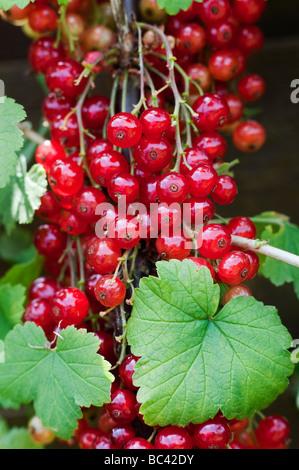 Ribes rubrum. Redcurrant 'junifer' berries on a bush at Ryton organic centre, Warwickshire, England - Stock Photo