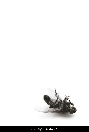 dead housefly - Stock Photo