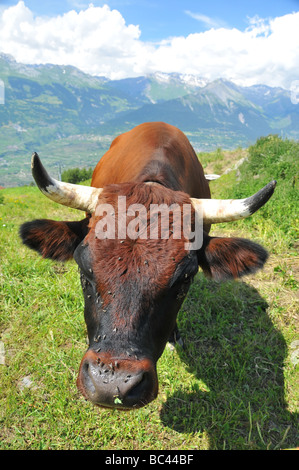 Head and horns of a brown Swiss cow dual purpose cattle in ...