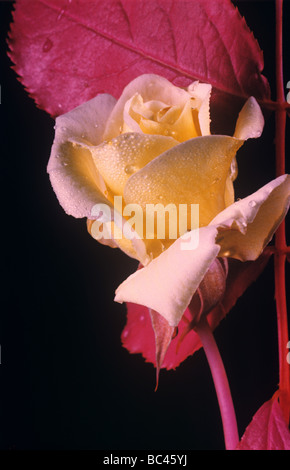A red rose flower and leaves photographed in false colour infra red film used for remote sensing - Stock Photo