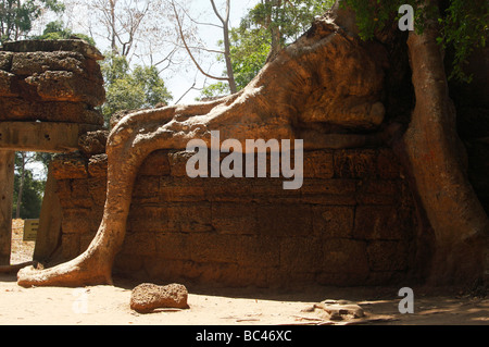 Kapok tree root growing over wall of 'Ta Prohm' temple ruins, Angkor, Cambodia - Stock Photo