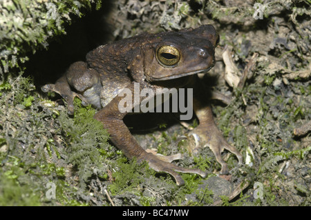 Brown Tree Toad, Pedostibes hosii, sitting in hole - Stock Photo