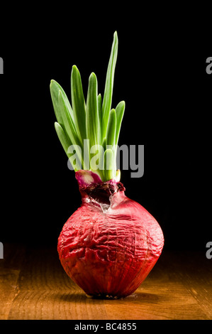Onion bulb - red and fresh - Stock Photo