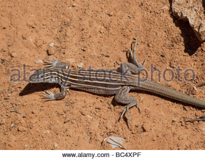 Plateau Striped Whiptail Lizard Aspidoscelis velox - Stock Photo