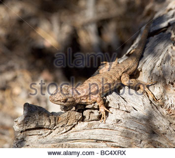 Plateau Fence Lizard Sceloporus tristichus - Stock Photo