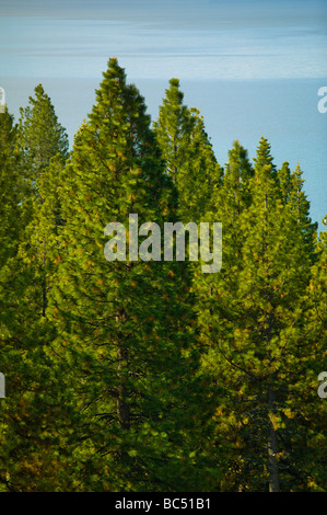Dense pine trees with water in background - Stock Photo