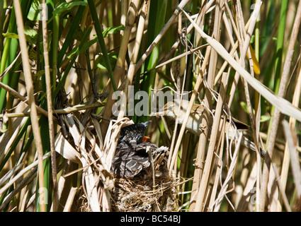 Reed Warbler (Acrocephalus scirpaceus) feeding nestling Cuckoo (Cuculus canorus). - Stock Photo
