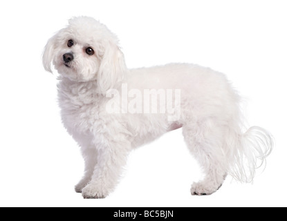 profile of a maltese dog 4 years old in front of A white background - Stock Photo
