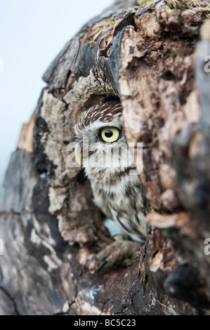 Athene noctua. Little owl in a tree hollow in the english countryside - Stock Photo