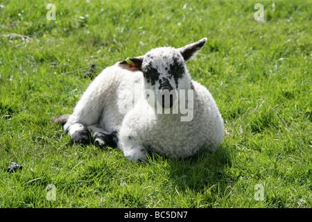 Beulah Speckled Face Lamb, Domestic Sheep Breed, Ovis aries, Caprinae, Bovidae. - Stock Photo