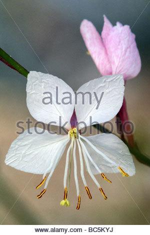 Gaura lindheimeri | Lindheimer's Beeblossom also known as White Gaura, Pink Gaura or Lindheimer's Clockweed | Gaura - Stock Photo