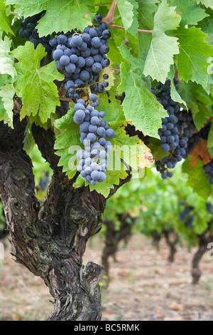 Grapevine detail within a vineyard situated in the south of France, close to the Canal du Midi. - Stock Photo