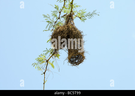Weaver Bird nest  Mililwane Wildlife Sanctuary Swaziland South Africa - Stock Photo