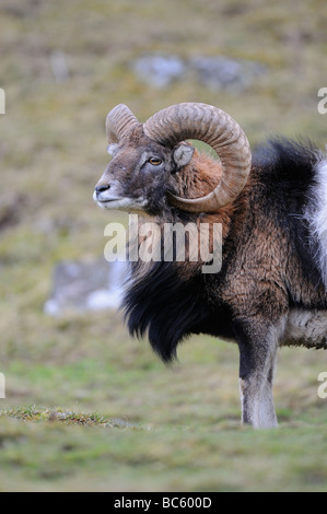 Mouflon Ovis aries Highland Wildlife Park Kingussie Scotland - Stock Photo