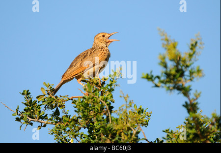 Rufous naped Lark Mirafra africana perched on branch singing Eastern Cape South Africa - Stock Photo