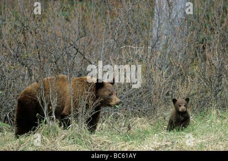 Black bear (Ursus Americanus) standing with cub in forest, Jasper National Park, Alberta, Canada - Stock Photo