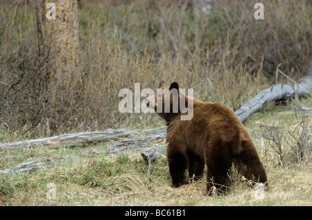 Black bear (Ursus Americanus) standing in forest, Jasper National Park, Alberta, Canada - Stock Photo