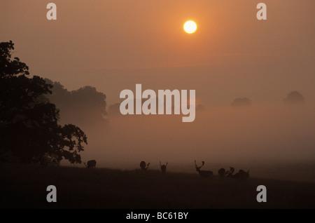 Silhouette of Fallow deer (Dama dama) standing in field at sunrise, Sjaelland, Denmark - Stock Photo