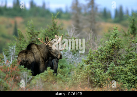 European elk (Alces alces) standing in forest, Chugach State Park, Alaska, USA - Stock Photo