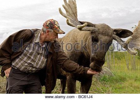 Man feeding Moose (Alces alces) in field, Jaemtland, Oestersund, Norrland, Sweden - Stock Photo