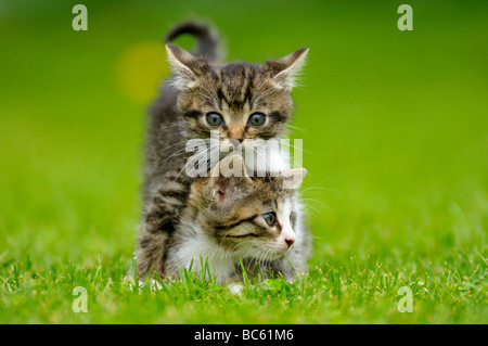 Close-up of two kittens in field, Bavaria, Germany - Stock Photo