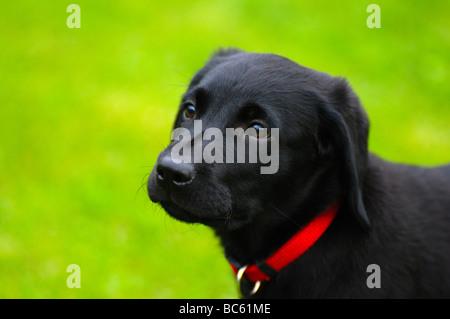 Close-up of Labrador in field, Franconia, Bavaria, Germany - Stock Photo