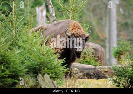 European bison (Bison bonasus) standing in forest, Bavarian Forest National Park, Bavaria, Germany - Stock Photo