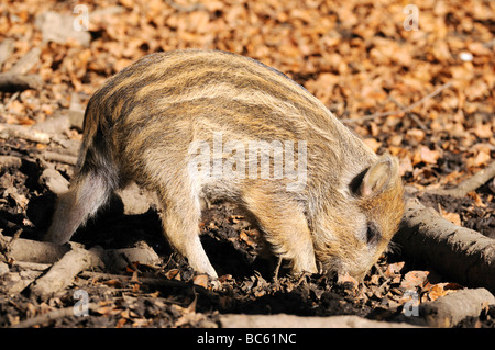 Wild Boar (Sus scrofa) foraging in forest, Bavarian Forest National Park, Bavaria, Germany - Stock Photo