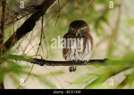 Close-up of Eurasian Pygmy owl (Glaucidium passerinum) perching on branch, Bavarian Forest National Park, Bavaria, - Stock Photo