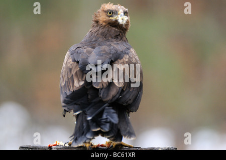 Close-up of Lesser Spotted eagle (Aquila pomarina) on wooden post, Bavarian Forest National Park, Bavaria, Germany - Stock Photo