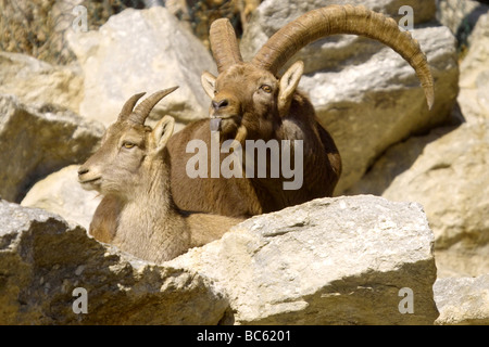 Close-up of two Domestic goat (Capra aegagrus hircus) on mountain, Austria - Stock Photo