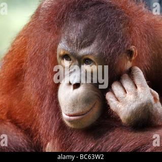 Orangutan, Pongo - Stock Photo