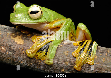 A green Wallace's Flying Frog, Rhacophorus nigropalmatus, with yellow webbed feet - Stock Photo