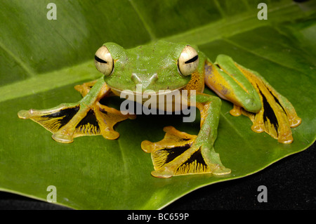 Wallace's Flying Frog, Rhacophorus nigropalmatus, clmibing on a branch with webbed feet - Stock Photo