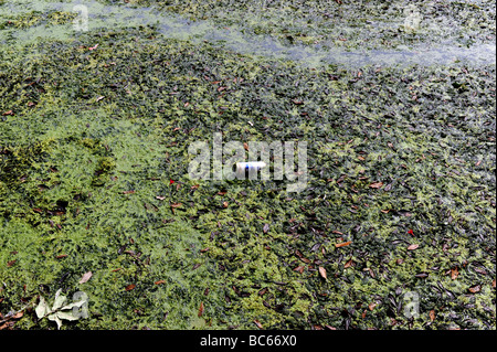Beer can floating on stagnant pond - Stock Photo