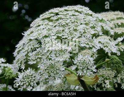 Giant Hogweed or Giant Cow-parsley, Heracleum mantegazzianum, Apiaceae - Stock Photo