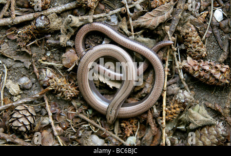 Slow Worm aka Slow-worm, Slowworm, Blindworm or Blind Worm, Anguis fragilis, Anguidae, Lizard, Reptile - Stock Photo