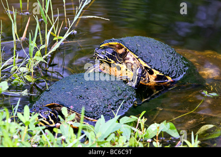 Florida Redbelly Turtle mounting another - Stock Photo