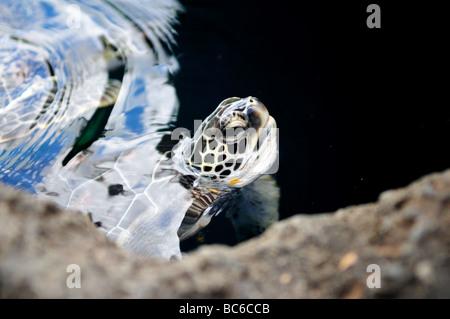 A sea turtle stick its head out of water, Maui, Hawaii, USA. - Stock Photo