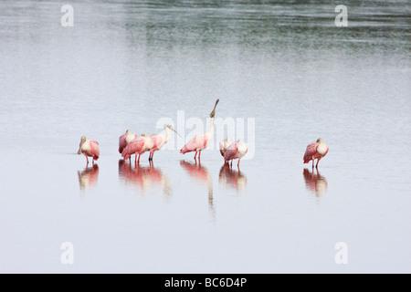 Roseate Spoonbills resting in water - Stock Photo
