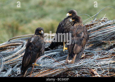Three Striated Caracara, Phalcoboenus australis, standing on some coiled metal wire. Also known as a Johnny Rook - Stock Photo
